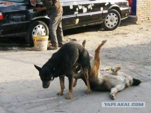 Почему после спаривания собаки не могут расцепиться