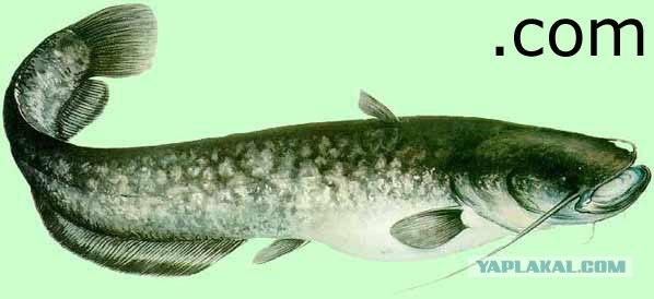 Внешний вид.  Silurus glanis) - крупнейшая рыба водоемов Европы и Азии.