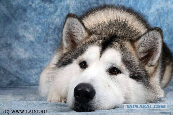 Аляскинский маламут.  (Фото с сайта www.laini.ru).  Большие собаки.