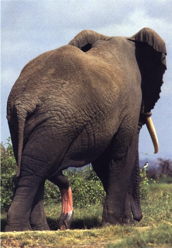 Хуй у слона фото 35-945
