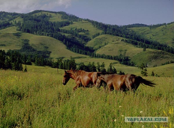 Горный Алтай : Телецкое озеро : Залив Кыга в.