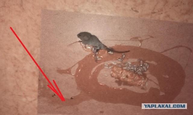 клей от мышей приманка