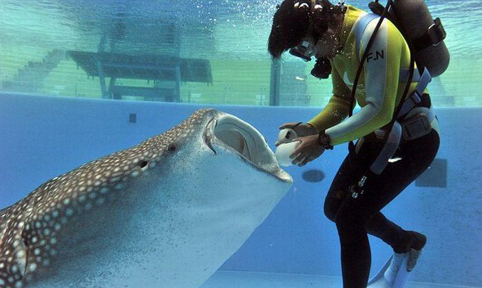 Время кормления гигантской китовой акулы (4 фото)