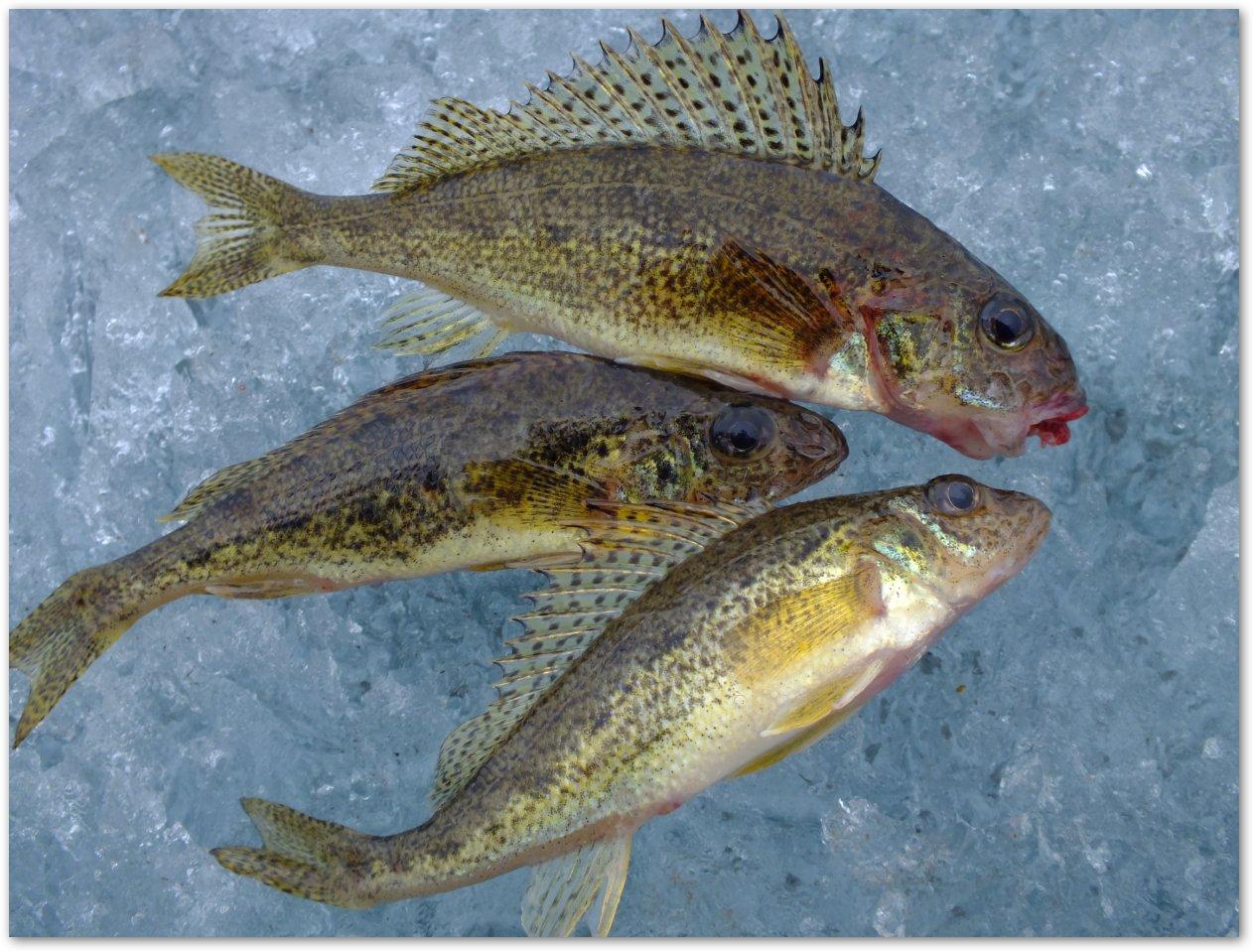 рыба толстолобик как приготовить вкусно