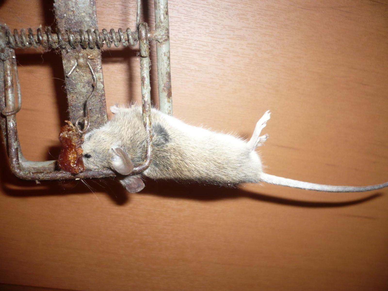 Как поймать крысу, сделать крысоловку своими руками из бутылки 88
