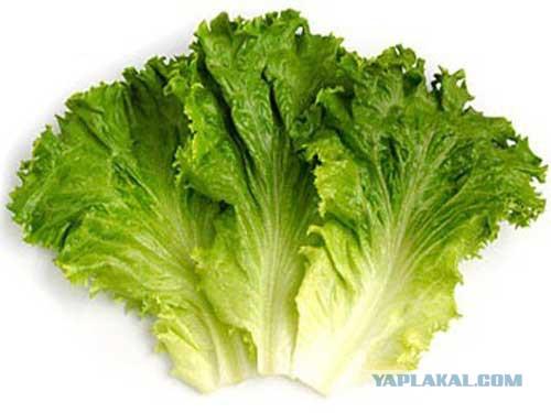 фото салатные листья