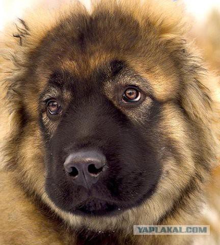 Кавказец загрыз стаю волков