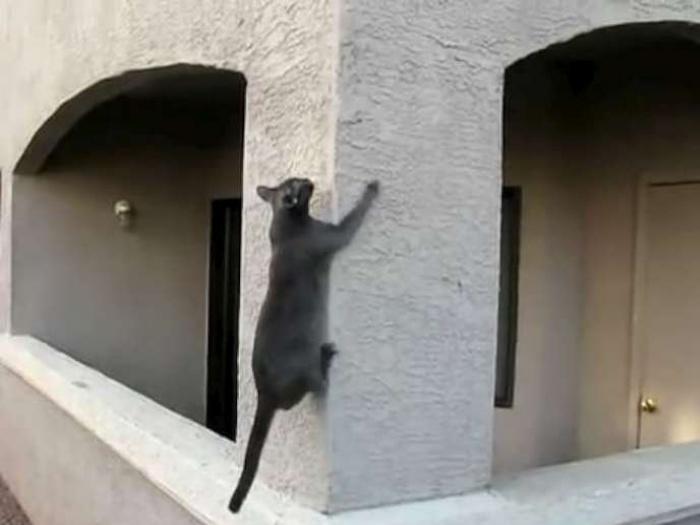 """Похоже кот посмотрел фильм """"человек паук"""" и решил чем он хуже."""