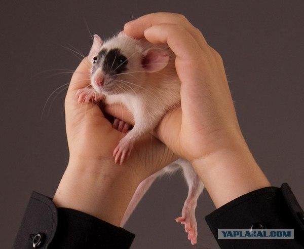 Уход за крысой в домашних условиях дамбо 477