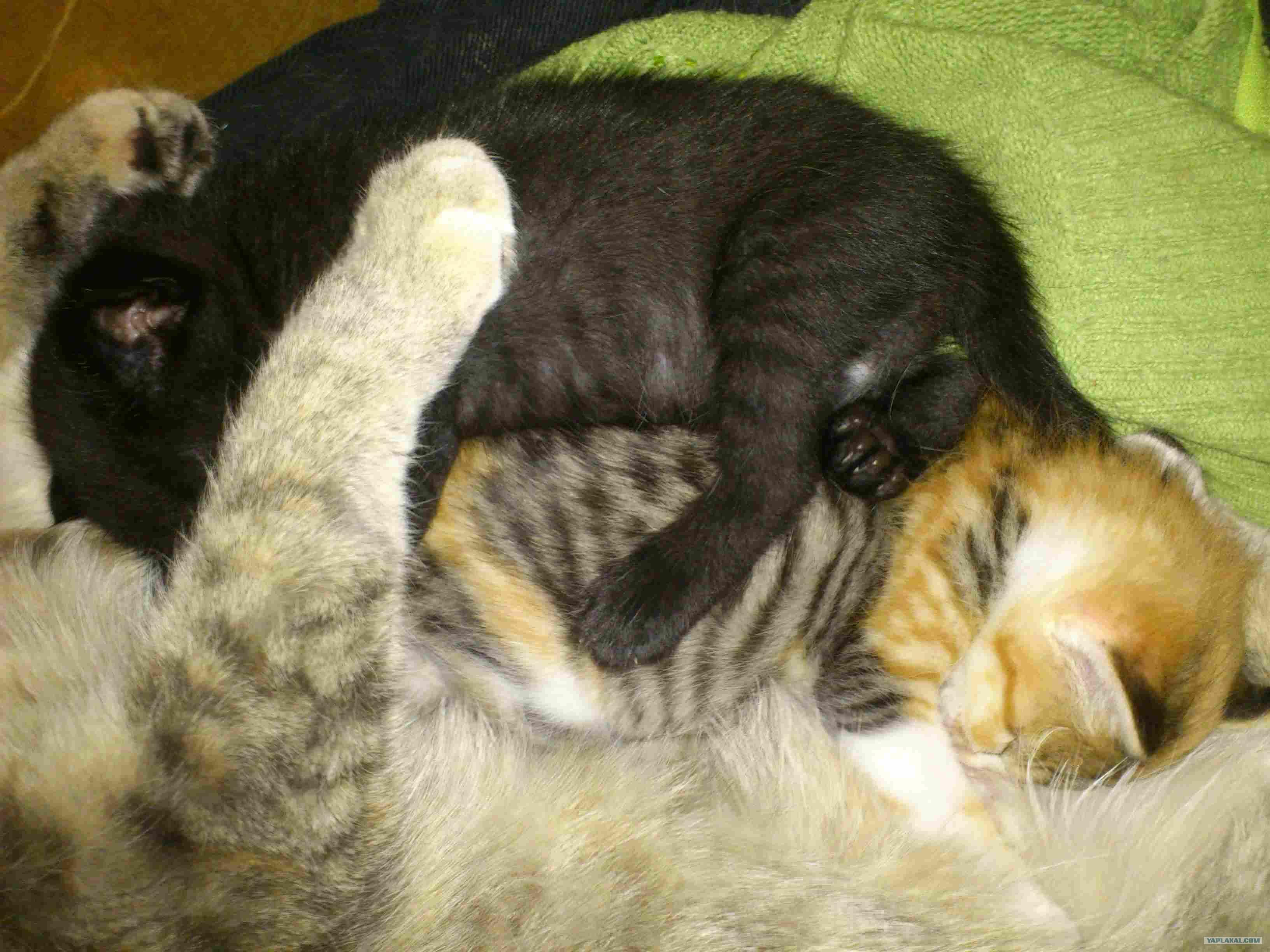 Сон беременная кошка к чему это