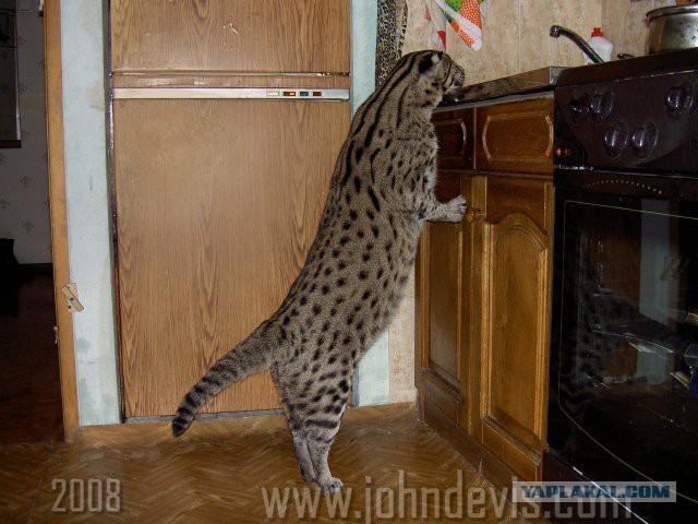 Виверровый кот в домашних условиях видео
