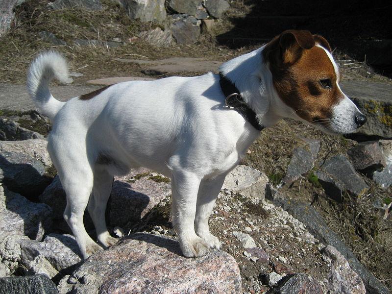 Джек-Рассел терьер-помощник для охотничьих собак.