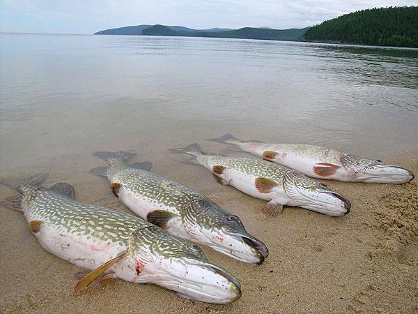 Приглашаю всех на уху - рыба, рыбалка.