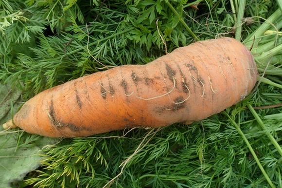 Возбуждено дело по факту изнасилования мужчины морковью в Москве