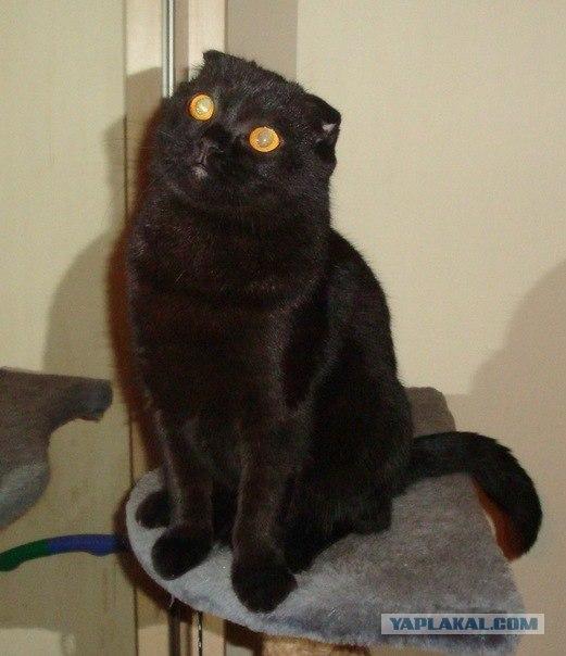 Шотландские клубные котята