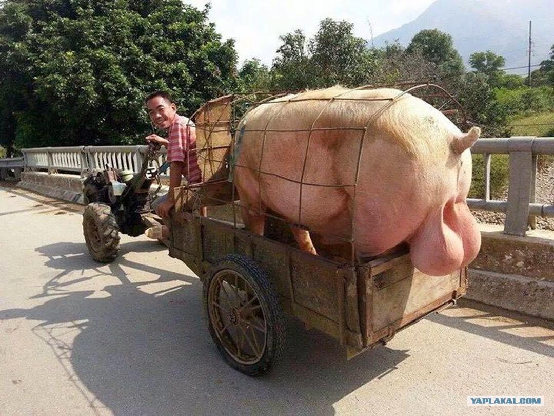 Толстяк таксист сосет 16 фотография