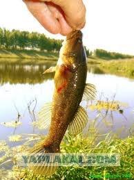 Рыбы разные, но все имеют крупную, сплюснутую...  Wiki Fish.  Подробности.
