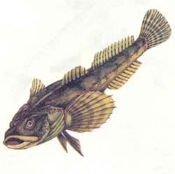 Бычок-песочник - Gobius fluviatilis.
