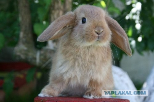 Вот такие вот они, карликовые кролики! (15 фот) - ЯПлакалъ