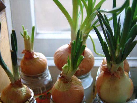 Как посадить лук в домашних условиях