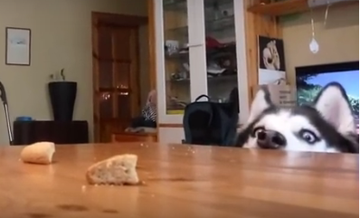 Хаска ворует еду со стола