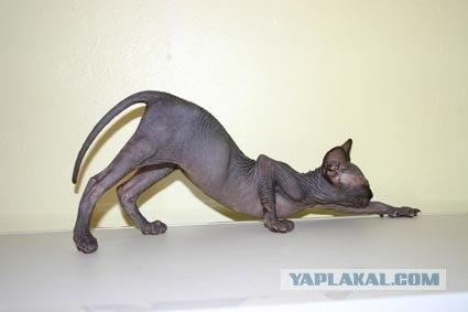 ааа! теперь я знаю для чего нужны сфинксы! кошачью анатомию изучать.