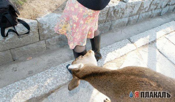 Крупные рогатые животные олени лоси
