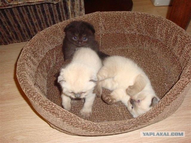 Продаются шотландские вислоухие котята:wub:
