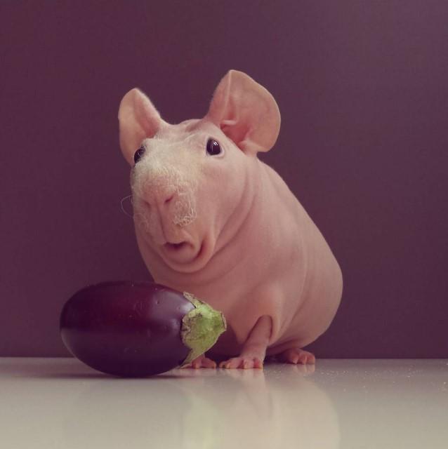 Милейший и совершенно голый Людвик — самая популярная морская свинка в Instagram