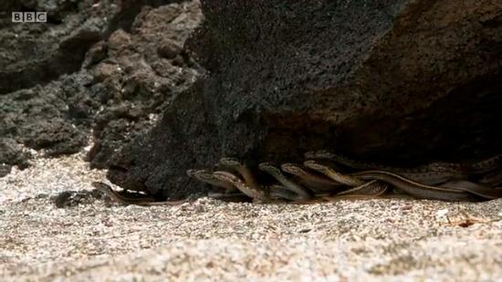 Детёныш морской игуаны борется за жизнь, спасаясь от десятка змей