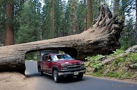 Зрелищное спиливание 50-метровых деревьев