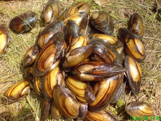 видео ловят моллюсков