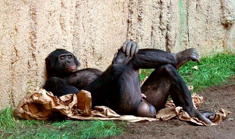 Сиськи горилы