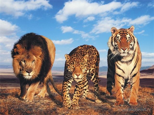 - Бу! Лев подкрался и леопарда испугал