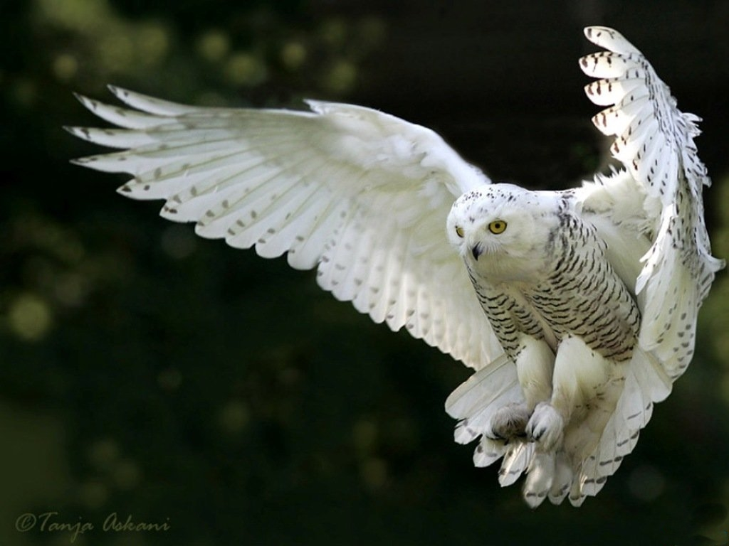 фото летящей совы