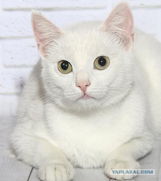 Кошка Снежка