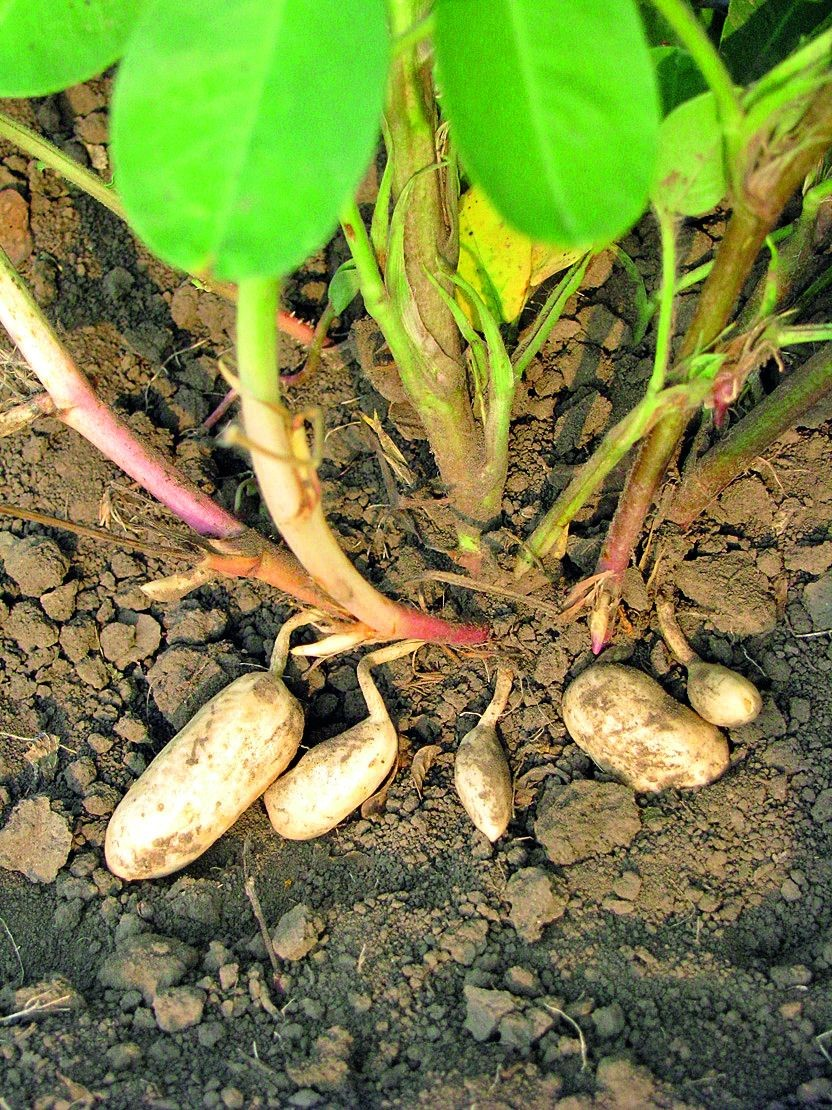 Фото как растет земляной орех арахис
