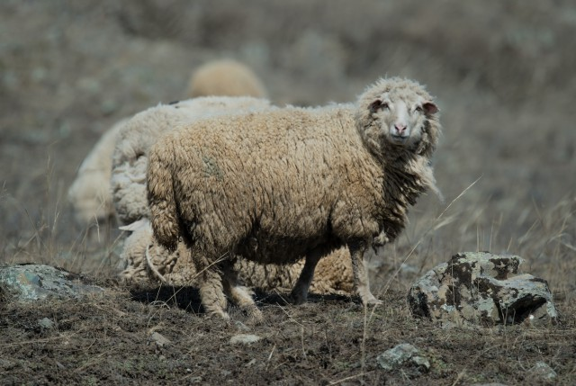 """В Турции 80 овец совершили """"массовое самоубийство"""", прыгнув со скалы"""