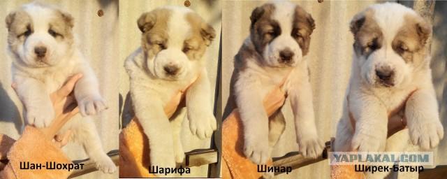Племенные щенки сао (алабай, туркменский волкодав)