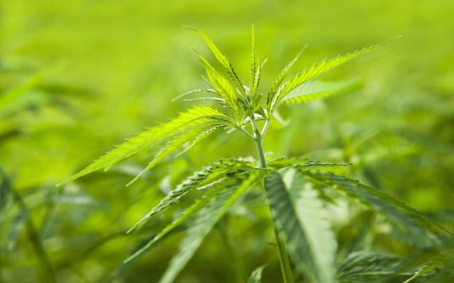 Верховная рада Украины поддержала легализацию марихуаны