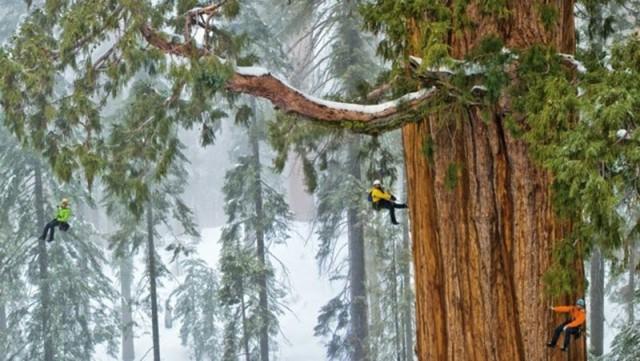 Фотографы 32 дня потратили, чтобы сфотографировать это дерево целиком