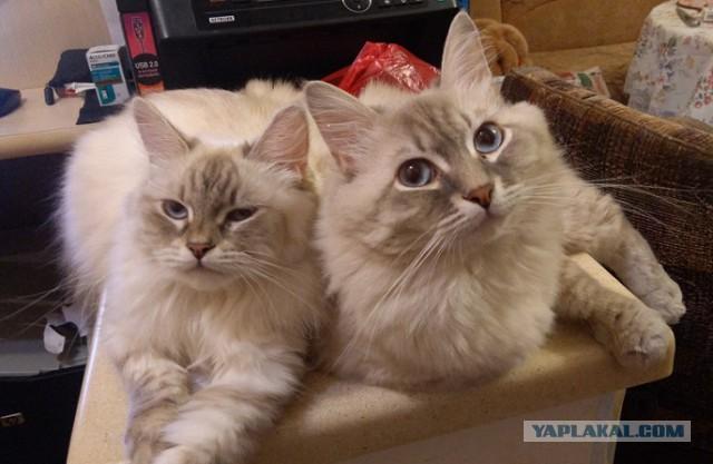 Кому котят? Невские маскарадные.