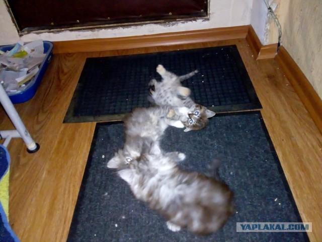 Отдам хорошим людям двух бесят (котиков)