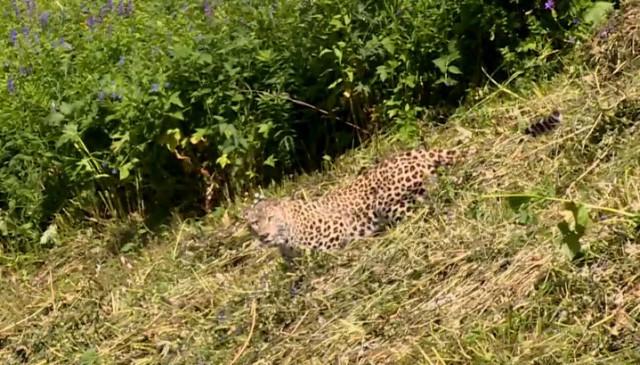 В Кодорском ущелье застрелили краснокнижного леопарда