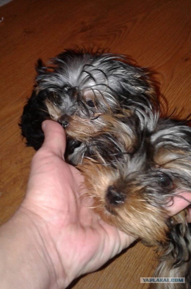 Йорки гоу хоум - 2 щенка ищут хозяев