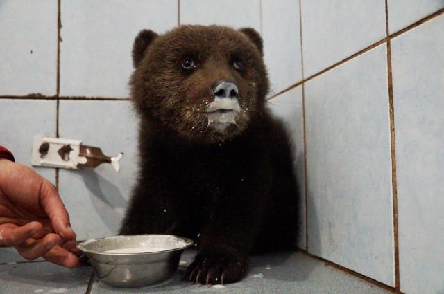 Жители Ленобласти спасли раненного медвежонка
