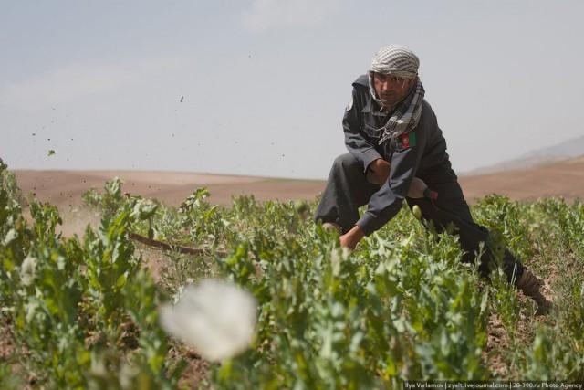Уничтожение маковых полей в Афганистане