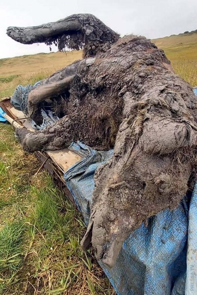 В России найдены хорошо сохранившиеся останки пещерного медведя, возрастом 39 тысяч лет