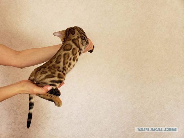 Бенгальский котёнок может кому нужен