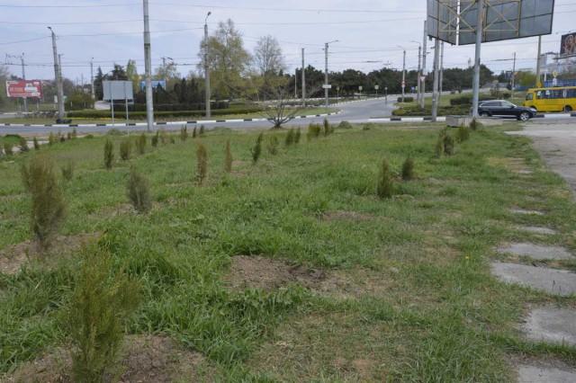 В Севастополе украли деревья, высаженные в память погибших в Кемерове